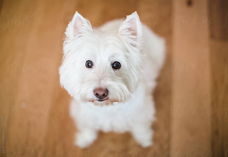 A cute white dog looking up for treats by Jakob for Stocksy United