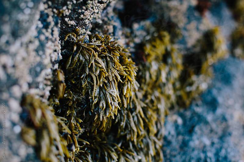 seaweed on Oregon coast by Cameron Zegers for Stocksy United
