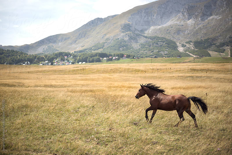 Wild stallion galloping trough the meadow surrounded by mountains by Jovana Milanko for Stocksy United