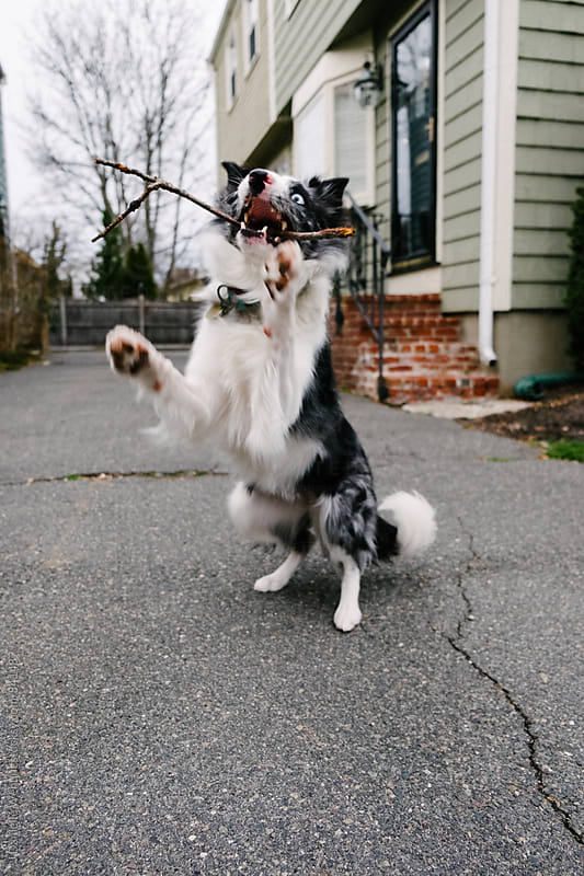 A black and white border collie playing fetch outside. by J Danielle Wehunt for Stocksy United