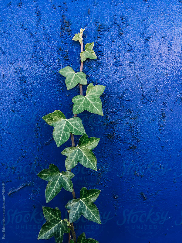 Ivy growing on painted blue wall by Paul Edmondson for Stocksy United