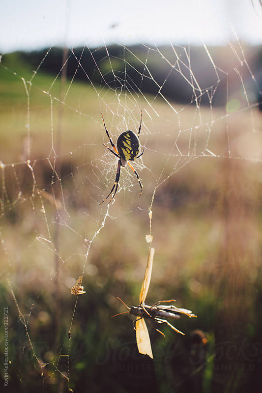 Orb Weaving Spider and Locust Caught in Web by Kevin Keller for Stocksy United