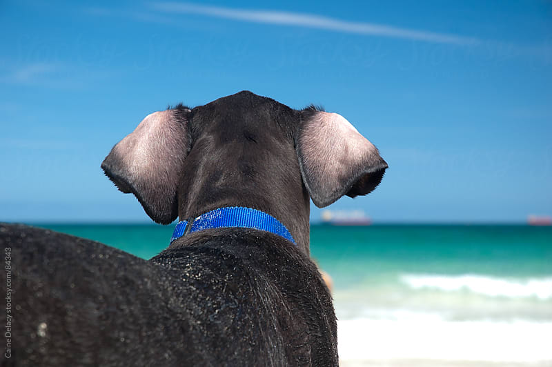 Dog looks out to sea by Caine Delacy for Stocksy United