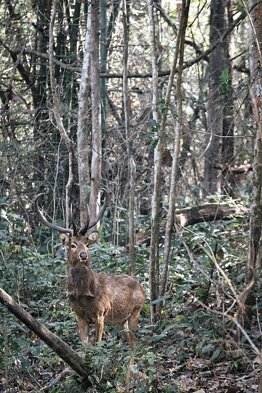 Sambar deer in Thailands Huai Kha Khaeng Wildlife Sanctuary by Jovana Milanko for Stocksy United
