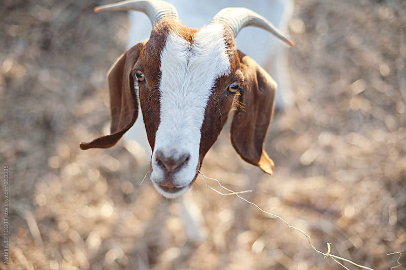 Goat looking up at camera with straw in it's mouth by Natalie JEFFCOTT for Stocksy United