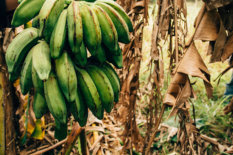 Wild Bananas in the Tree by Gabriel (Gabi) Bucataru for Stocksy United