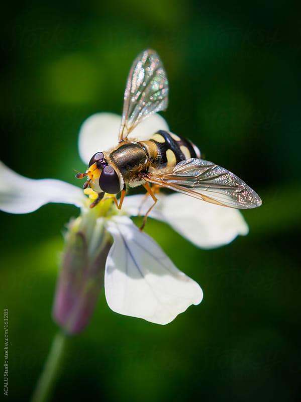 Syrphid by ACALU Studio for Stocksy United