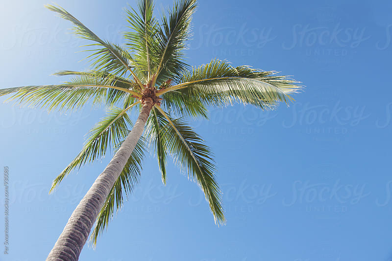 Beautiful palm tree against sunny sky by Per Swantesson for Stocksy United