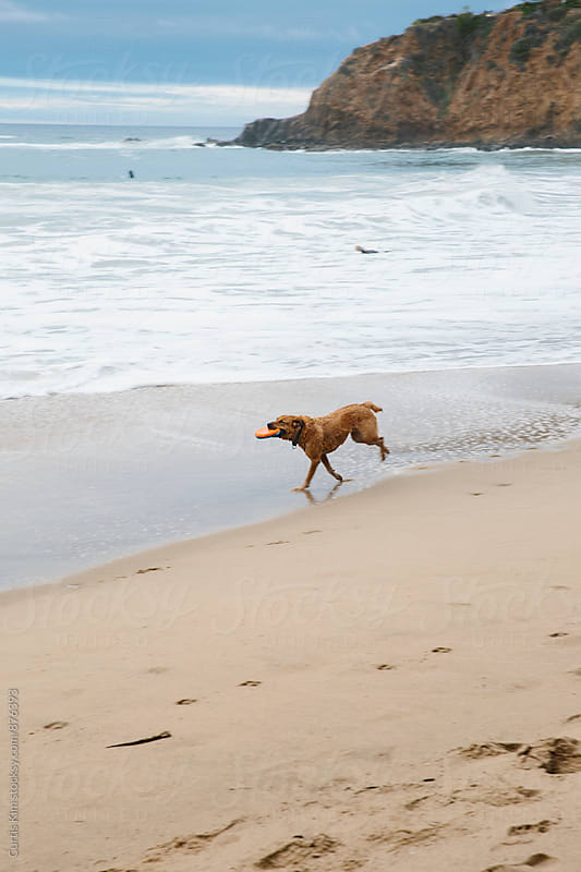 Dog fetching frisbee at the beach by Curtis Kim for Stocksy United