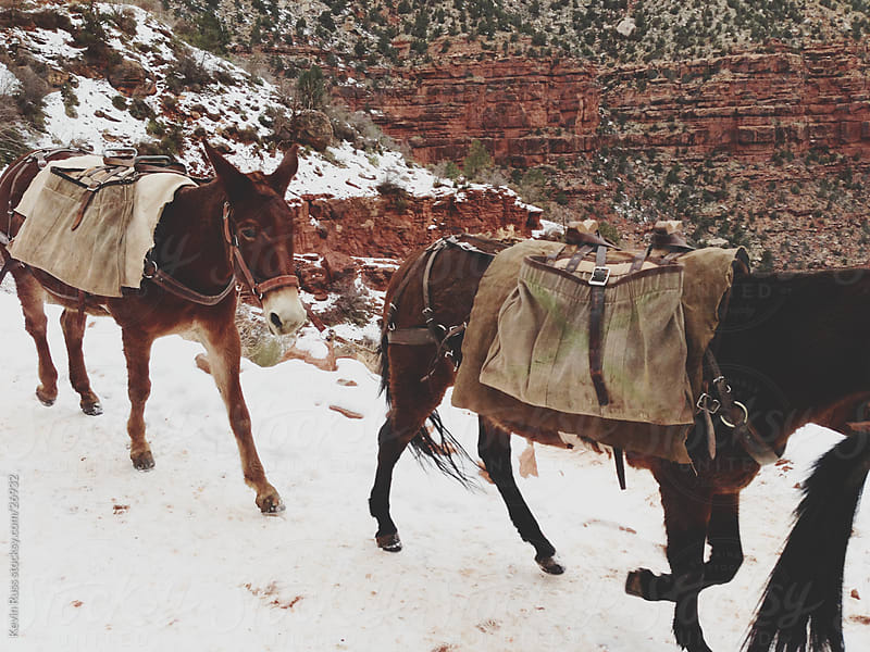 Winter Pack Mules  by Kevin Russ for Stocksy United
