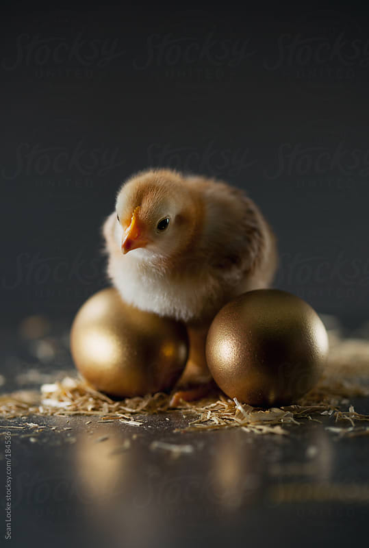 Chicks: Chick Sits On Golden Eggs Concept by Sean Locke for Stocksy United