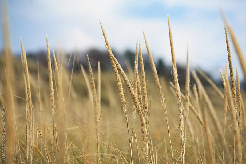 Dune Grass by ALICIA BOCK for Stocksy United