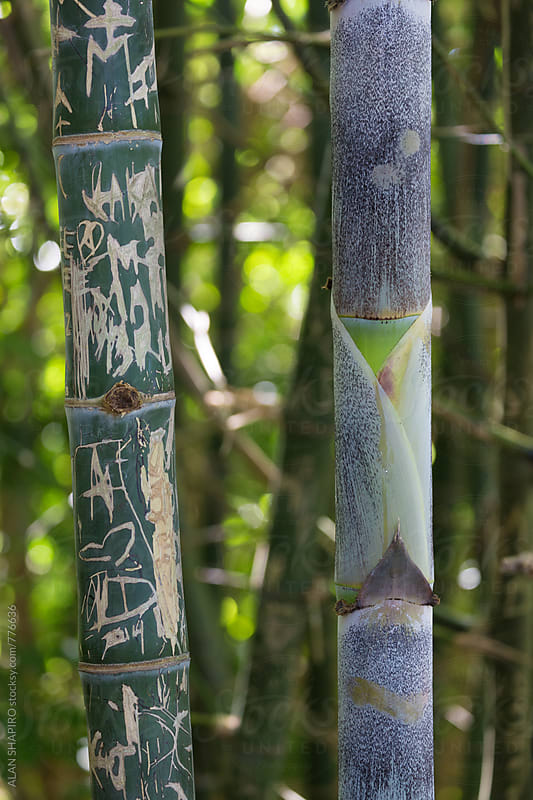 bamboo w grafitti by alan shapiro for Stocksy United