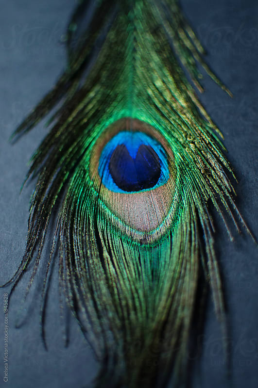 Peacock Feathers by Chelsea Victoria for Stocksy United