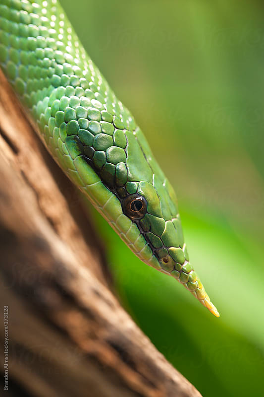 Rhinoceros Ratsnake by Brandon Alms for Stocksy United