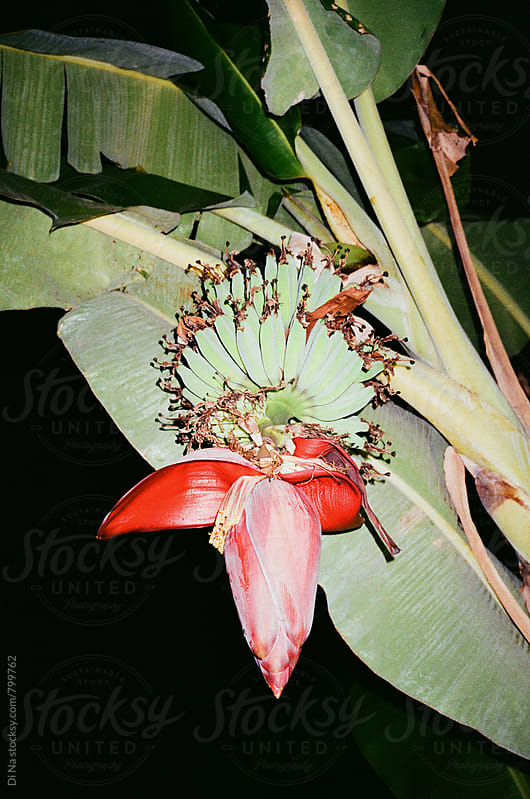 Banana flower in bloom by Dina Lun for Stocksy United