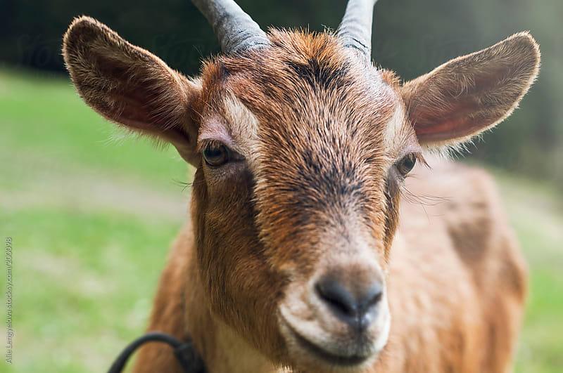 Portrait Goat by Alie Lengyelova for Stocksy United