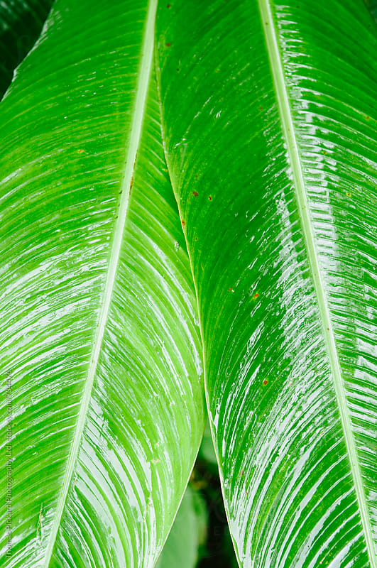 Wet palm fronds, Samoa. by Thomas Pickard for Stocksy United