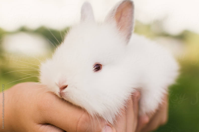 child holding fluffy white baby bunny by Deirdre Malfatto for Stocksy United