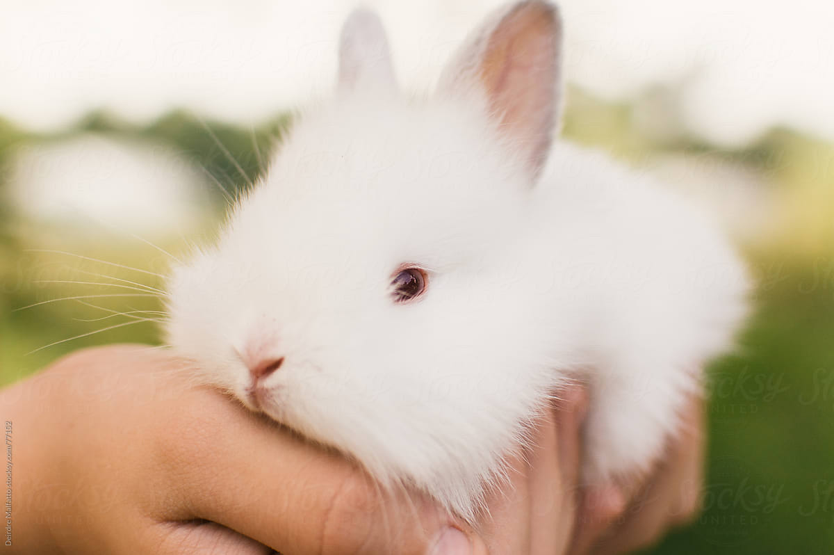 Fluffy White Baby Bunnies | Wallpapers Engine