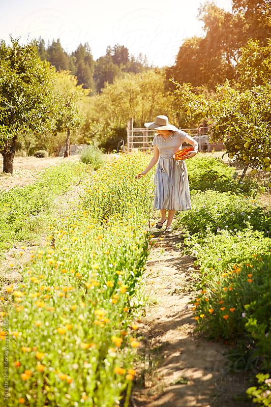 Woman farmer picking calendula flowers on organic farm  by Trinette Reed for Stocksy United