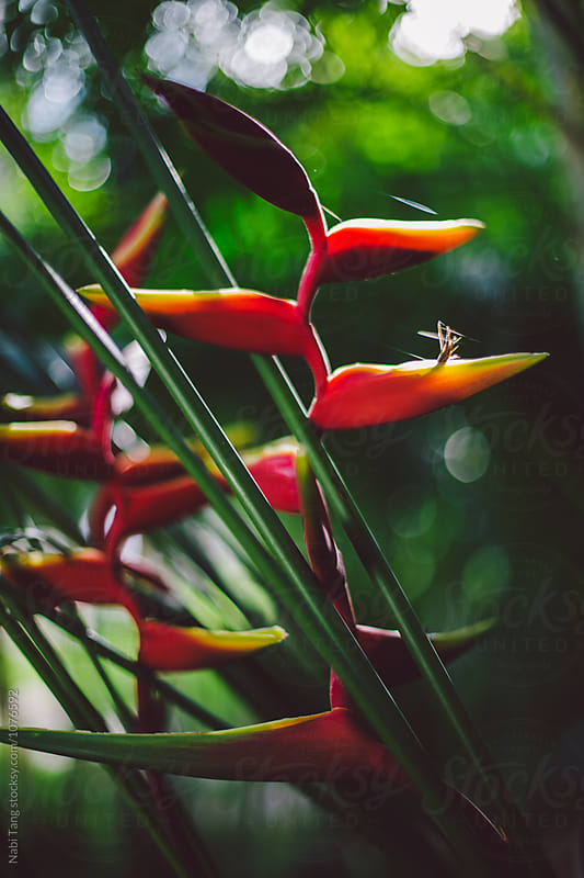 Heliconia rostrata (lobster-claws, wild plantains or false bird-of-paradise) by Nabi Tang for Stocksy United