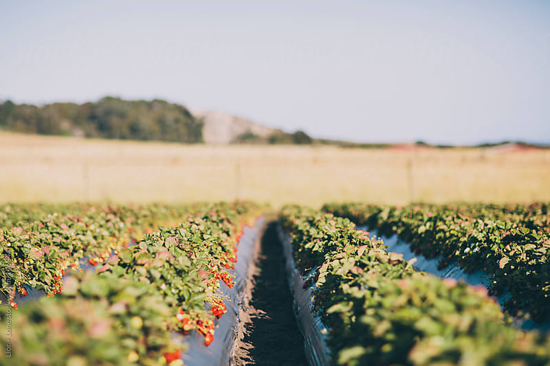 Organic strawberry field by Lior + Lone for Stocksy United