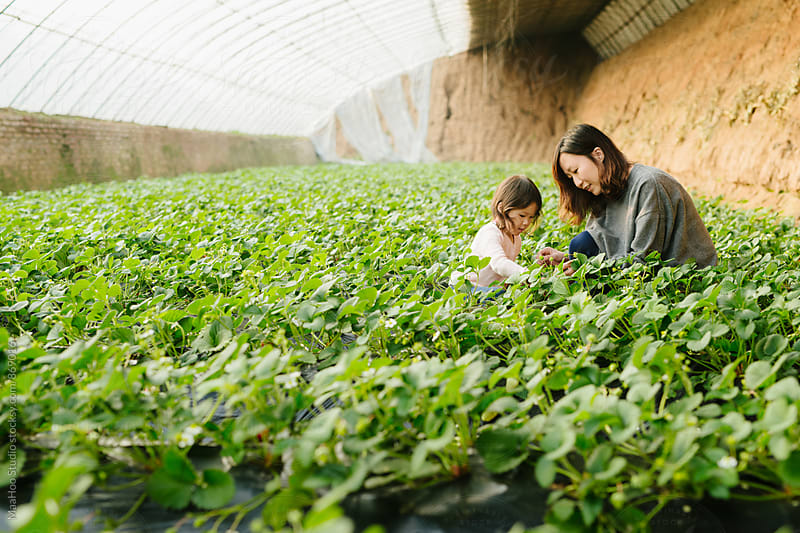 Young girl and her mother picking strawberry in greenhouse by Maa Hoo for Stocksy United