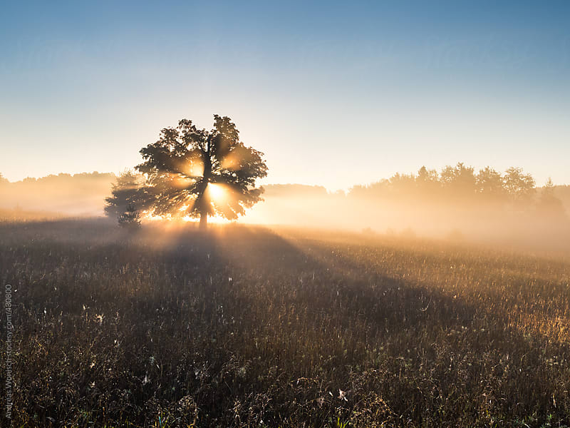 Sunbeams shining through lonely tree at sunrise by Andreas Wonisch for Stocksy United