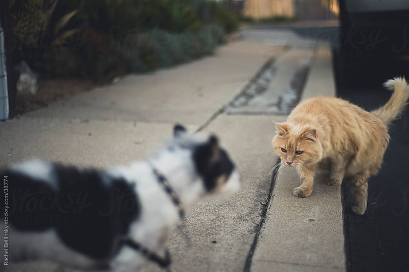 Aggressive orange tabby cat approaches timid dog by Rachel Bellinsky for Stocksy United