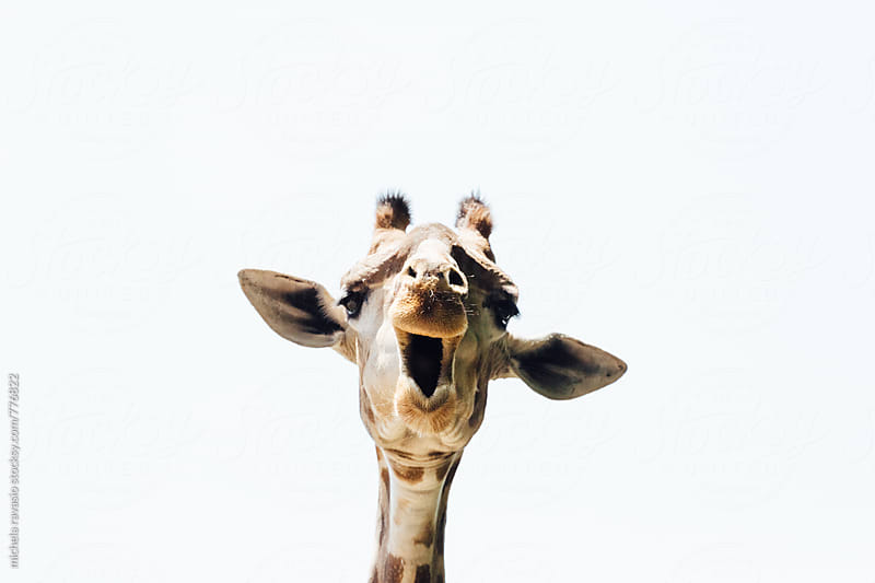 Portrait of a giraffe by michela ravasio for Stocksy United