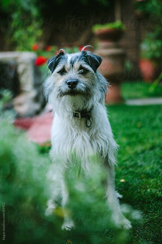 Scruffy looking terrier cross breed dog by kkgas for Stocksy United