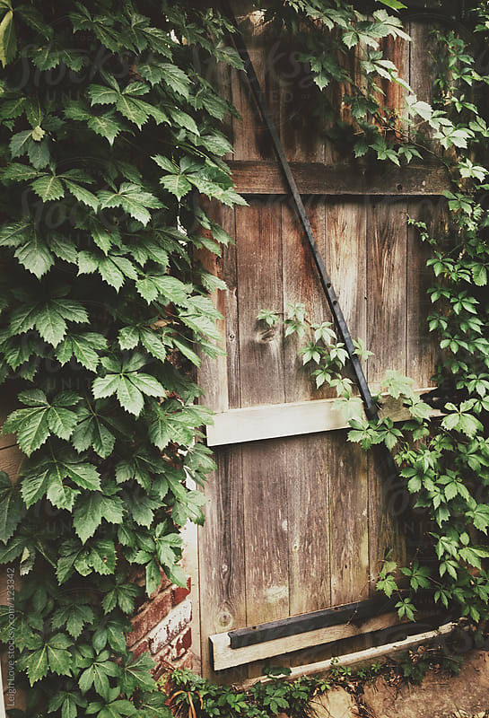 Virginia Creeper Grows on a Weathered Gate by Leigh Love for Stocksy United