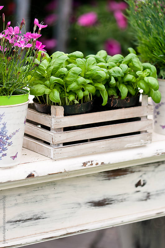 basil plants in a wooden white box by Laura Adani for Stocksy United
