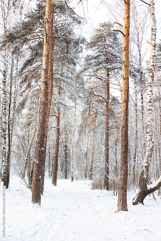 Snowy  path in winter forest by Andrey Pavlov for Stocksy United