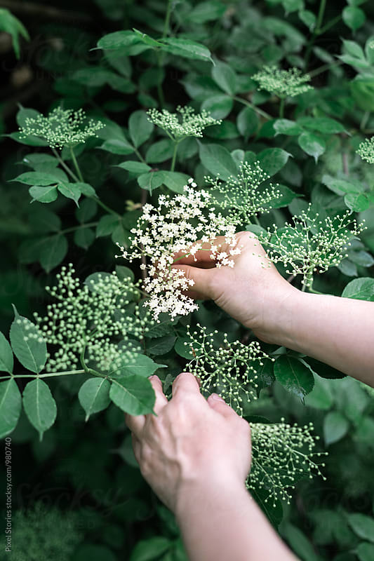 Woman picking elderflowers by Pixel Stories for Stocksy United