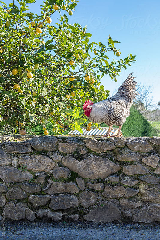 Rooster on stone wall by Marta Muñoz-Calero Calderon for Stocksy United