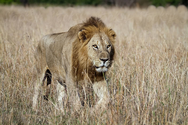 Lion by Gabriel Ozon for Stocksy United