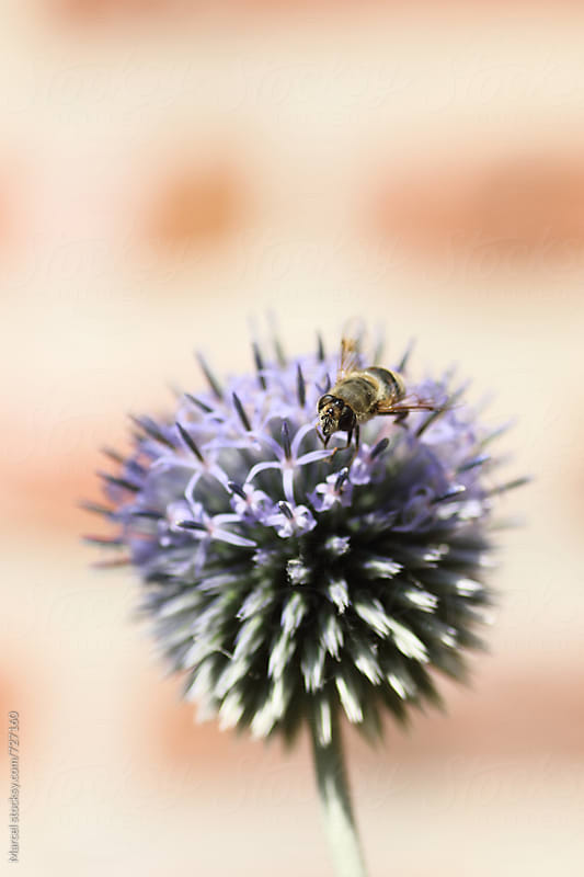 Bee on echinops flower by Marcel for Stocksy United