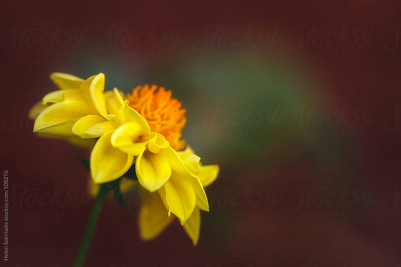Yellow Dahlia by Helen Sotiriadis for Stocksy United