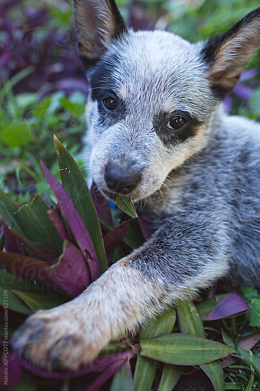 A very cute and cheeky Blue heeler puppy eating garden plants by Natalie JEFFCOTT for Stocksy United