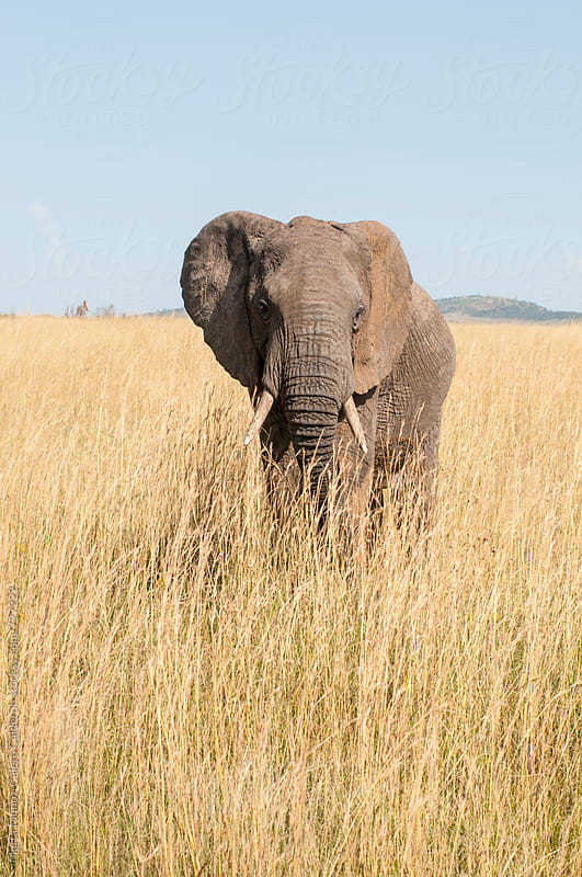 Elephant in an area of dry grass, Kenya by Marta Muñoz-Calero Calderon for Stocksy United
