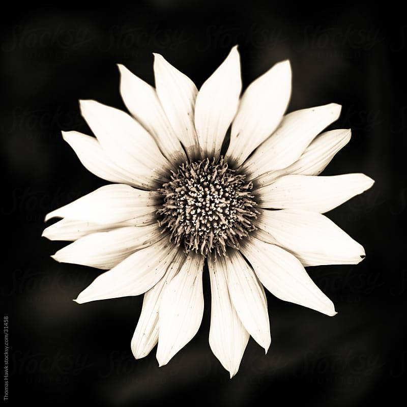 Flower by Thomas Hawk for Stocksy United