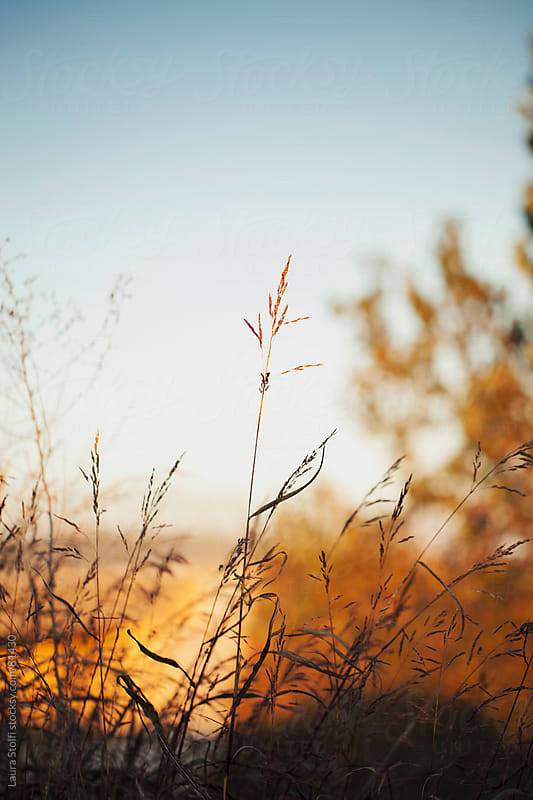 Wild grass in bloom in warm sunset light by Laura Stolfi for Stocksy United