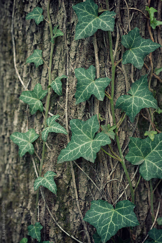 ivy on the tree by B & J for Stocksy United