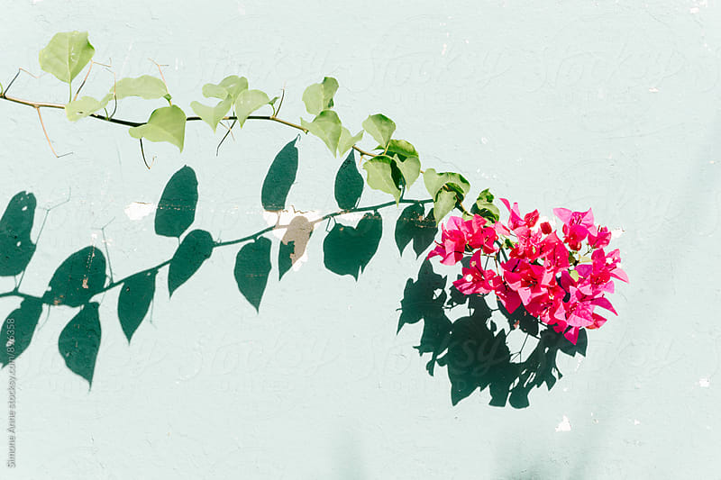 Bougainvillea against teal wall by Simone Anne for Stocksy United