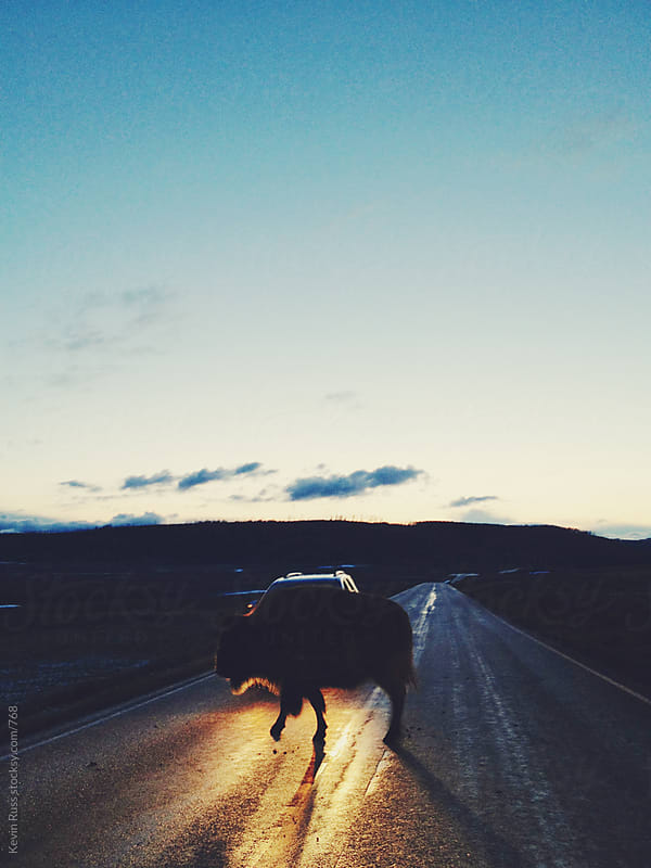 Headlight Yellowstone Bison Road Walk by Kevin Russ for Stocksy United