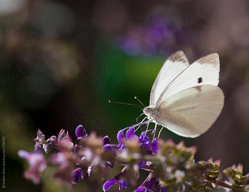 Cabbage White Butterfly Macro on Flowers by Brandon Alms for Stocksy United