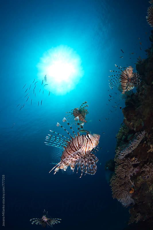 Lionfish school swimming next to a coral reef in the Red Sea by Jovana Milanko for Stocksy United