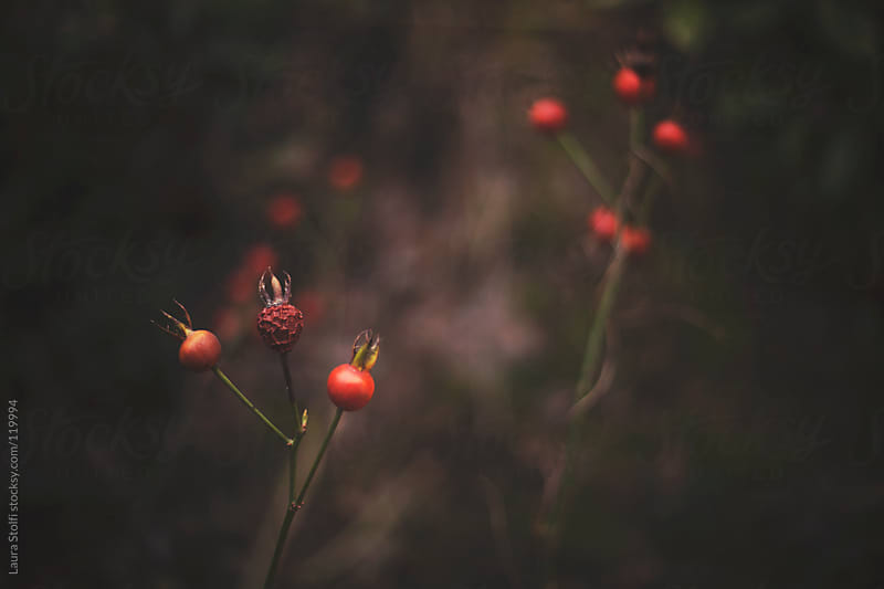 Rose hips on leafless bush by Laura Stolfi for Stocksy United